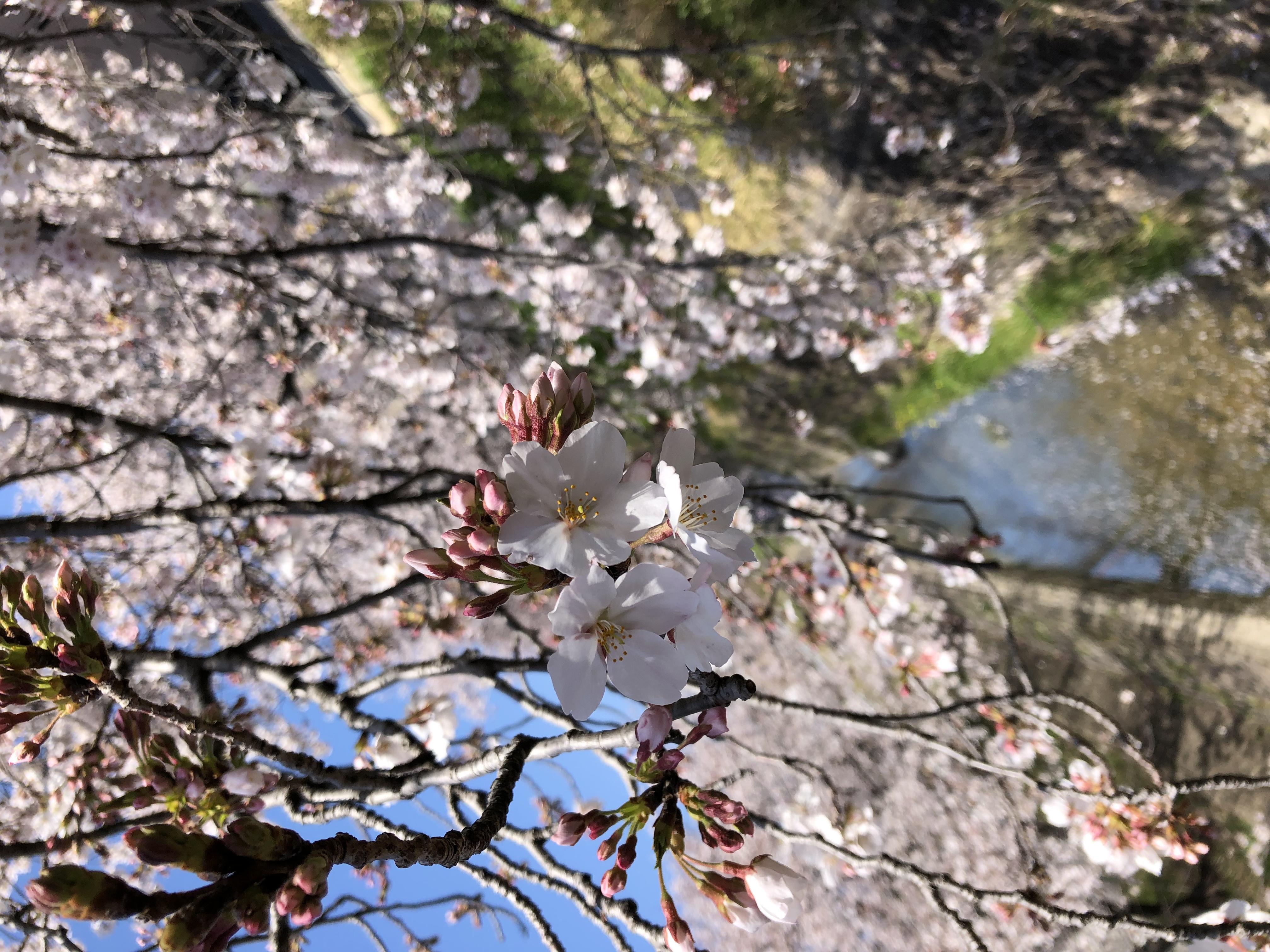 春(*´˘`*)♡